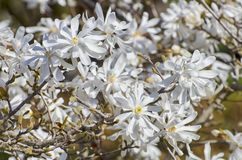 Flor de la primavera de la magnolia imagen de archivo libre de regalías