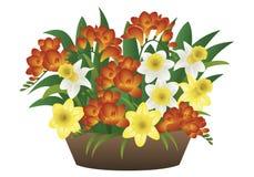 Flor de la primavera - narciso y fresia Fotos de archivo libres de regalías