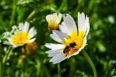 Flor de la primavera y abeja blancas y amarillas Fotos de archivo libres de regalías