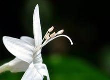 Flor de la pureza Fotos de archivo