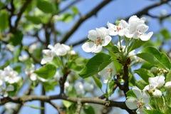 Flor de la rama del manzano fotos de archivo
