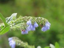 Flor de la ramita con las campanas azules Fotos de archivo libres de regalías