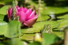 Flor de la rana verde y del lirio de agua roja fotografía de archivo libre de regalías