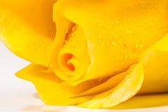 flor de la rosa del amarillo en el fondo blanco Imágenes de archivo libres de regalías