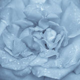 Flor de la rosa del azul Imagenes de archivo