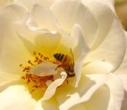 Flor de la rosa del blanco con la abeja Imagen de archivo libre de regalías