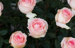 Flor de la rosa del rosa en el jardín Foco suave fotos de archivo