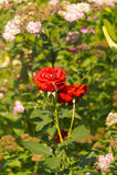 Flor de la rosa del rojo Fotografía de archivo libre de regalías