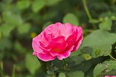 Flor de la rosa del rojo Foto de archivo libre de regalías