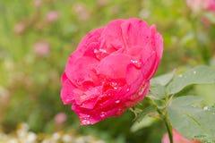 Flor de la rosa del rojo Fotografía de archivo