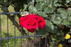 Flor de la rosa del rojo en el arbusto imágenes de archivo libres de regalías