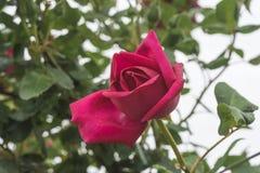 Flor de la rosa del rojo en el fondo de las hojas Fotografía de archivo libre de regalías