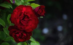 Flor de la rosa del rojo en hojas verdes Fotografía de archivo libre de regalías