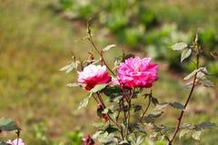 Flor de la rosa del rojo en un jardín Fotos de archivo