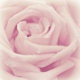 Flor de la rosa del rosa Imagen de archivo