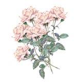 Flor de la rosa del rosa, acuarela, ramo Foto de archivo libre de regalías
