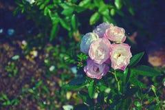 Flor de la rosa del rosa en el jardín Imagen de archivo libre de regalías