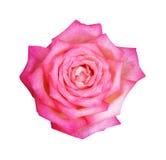 Flor de la rosa del rosa en el jardín Foco suave imagenes de archivo