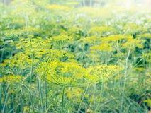 Flor de la semilla de hinojo Foto de archivo libre de regalías