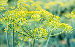 Flor de la semilla de hinojo Imagenes de archivo