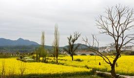 Flor de la semilla oleaginosa del Canola Imagen de archivo