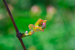 Flor de la uva Foto de archivo