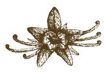 Flor de la vainilla Imagenes de archivo
