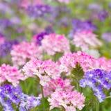 Flor de la verbena en naturaleza Imagenes de archivo