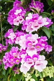 Flor de la vid del ajo Imágenes de archivo libres de regalías