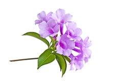 Flor de la vid del ajo Fotografía de archivo libre de regalías