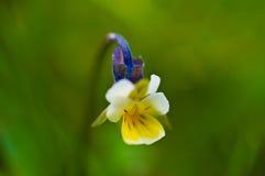 Flor de la viola Fotos de archivo libres de regalías