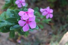 Flor de la viola Fotos de archivo