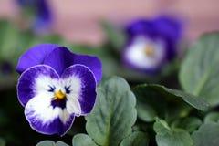 Flor de la viola Imagen de archivo libre de regalías