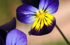 Flor de la viola con el insecto Imagenes de archivo