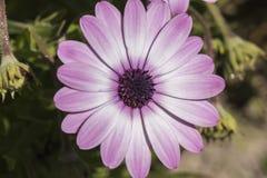 Flor de la violeta de los ecklonis del Dimorphotheca Imagen de archivo libre de regalías