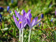 Flor de la violeta del azafrán Imagenes de archivo