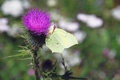 Flor de la violeta del cardo Fotografía de archivo libre de regalías