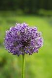 Flor de la violeta del giganteum del allium Fotos de archivo