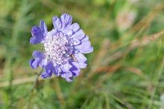 Flor de la viuda Fotografía de archivo