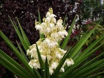 Flor de la yuca fotos de archivo