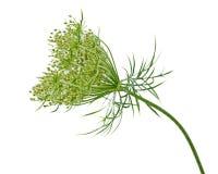 Flor de la zanahoria salvaje Fotos de archivo libres de regalías