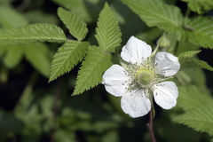 Flor de la zarza del roseleaf Fotos de archivo