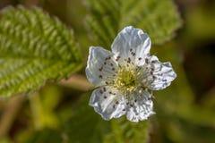 Flor de la zarzamora Foto de archivo libre de regalías