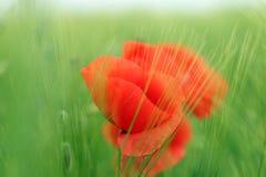 Flor de las amapolas en campo de la cebada Fotos de archivo