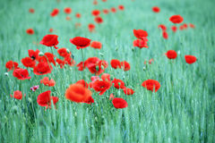 Flor de las amapolas en campo verde Imagen de archivo
