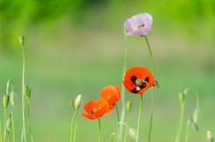 Flor de las amapolas salvajes rojas Imagenes de archivo
