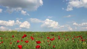 Flor de las amapolas y primavera del cielo azul