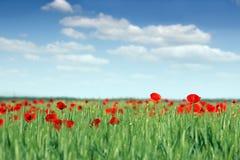 Flor de las amapolas y trigo verde Fotos de archivo
