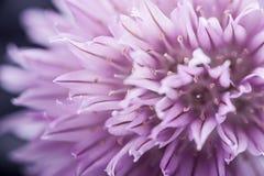 Flor de las cebolletas Imágenes de archivo libres de regalías