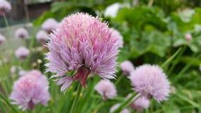 Flor de las cebolletas Foto de archivo libre de regalías